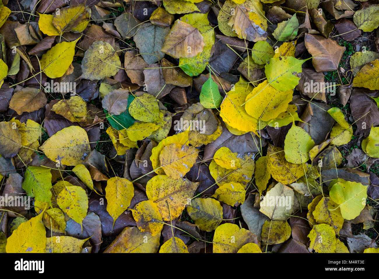 Dry brown and yellow leaves on ground under the big tree in public park, selective focus. - Stock Image