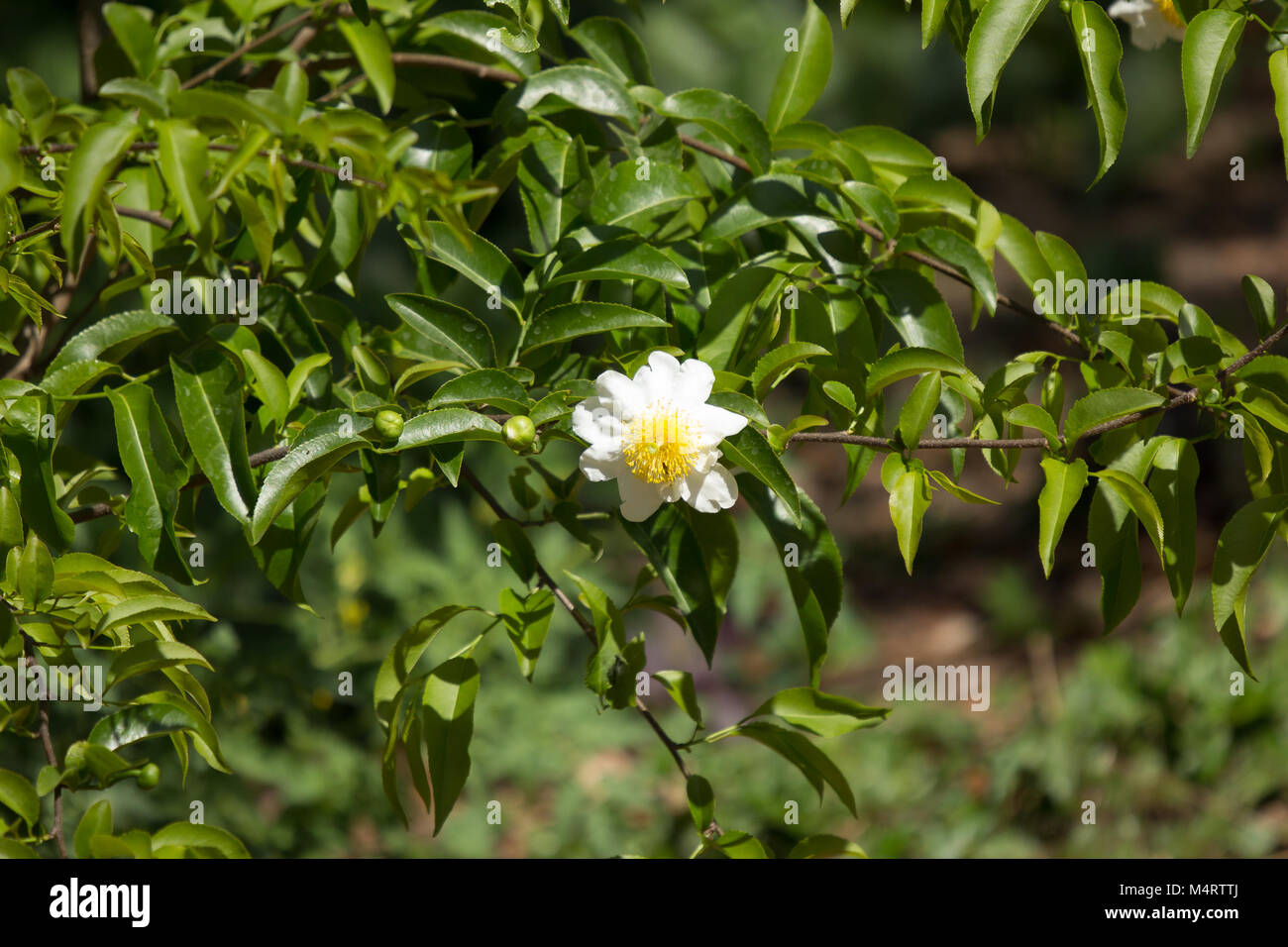White And Yellow Flower Name Is Fried Egg Tree Or Oncoba Spinosa