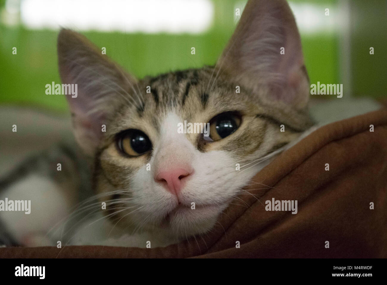 A kitten lies in its bed at the local animal shelter. - Stock Image