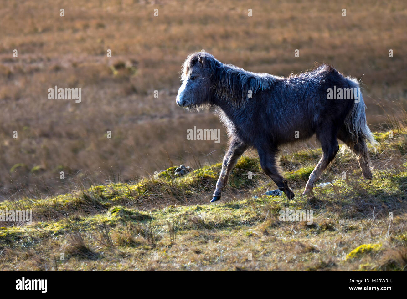 Carneddau Pony stood in the morning sunshine in the Llyn Eigiau Valley   at the edge of the Carneddau Mountain Range - Stock Image