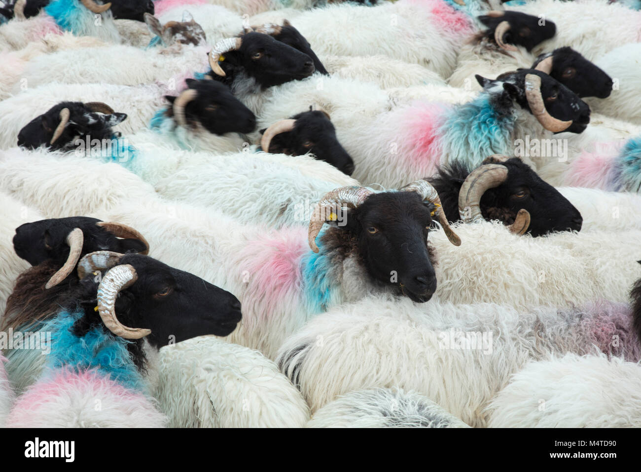 Herd of Mayo Blackface sheep, Connemara, County Galway, Ireland. - Stock Image