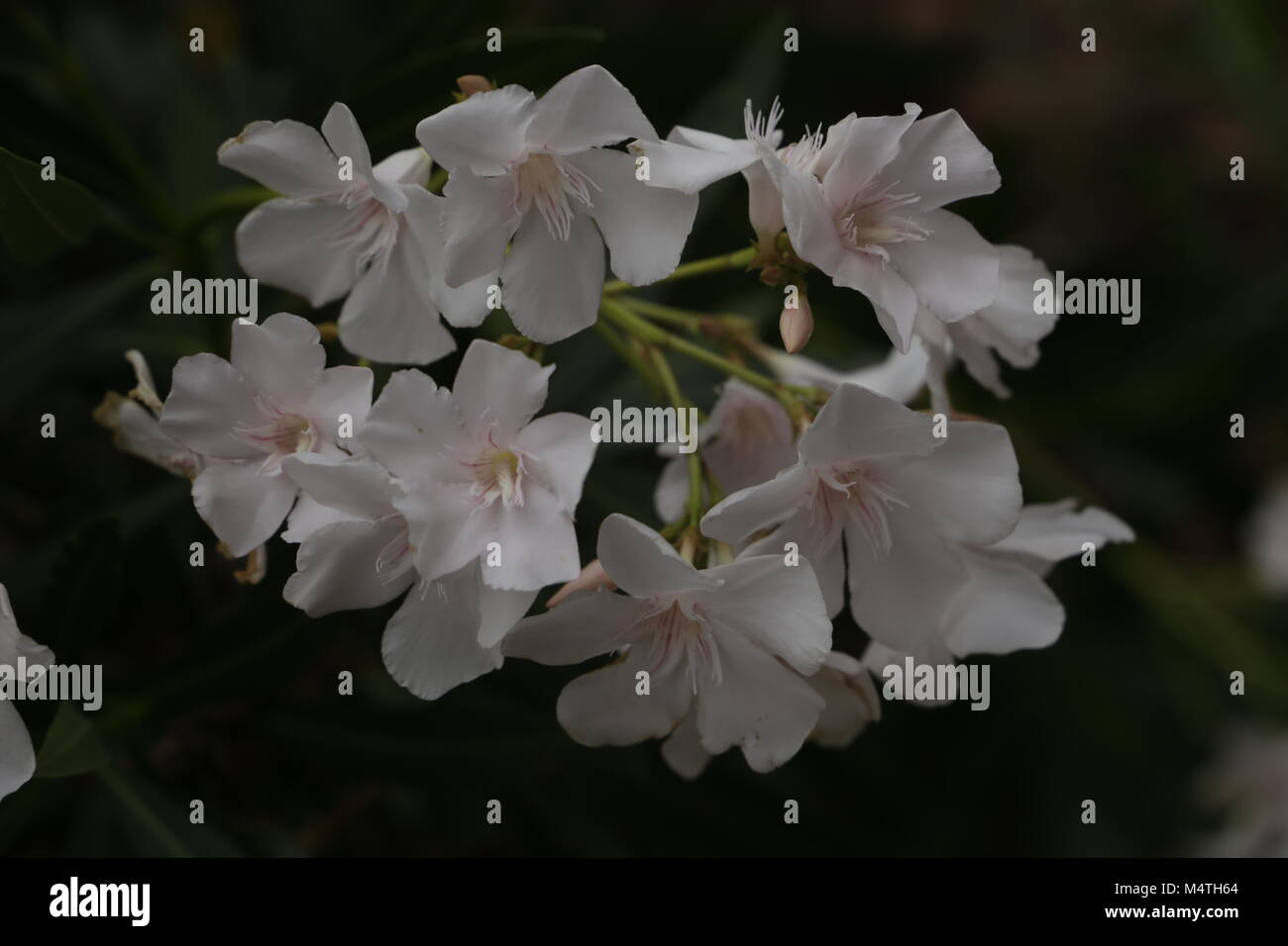 White Oleander Flowers Stock Photo 175102652 Alamy
