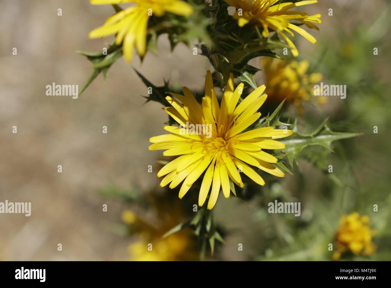 Yellow Thistle Flowers Stock Photos Yellow Thistle Flowers Stock