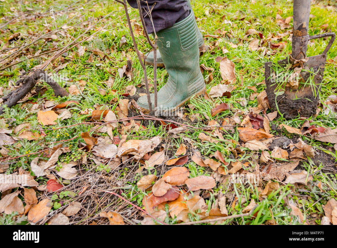 Gardener is using shovel to planting young fruit tree with roots to multiply minor plants in his orchard. - Stock Image