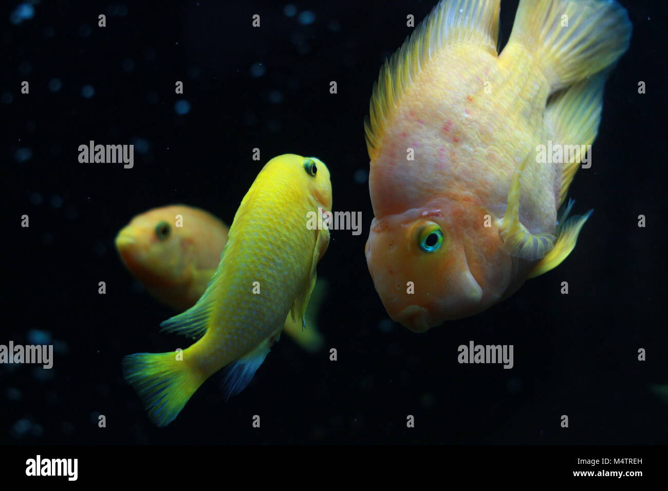 Orange Parrot Fish In Aquarium Stock Photos & Orange Parrot Fish In ...