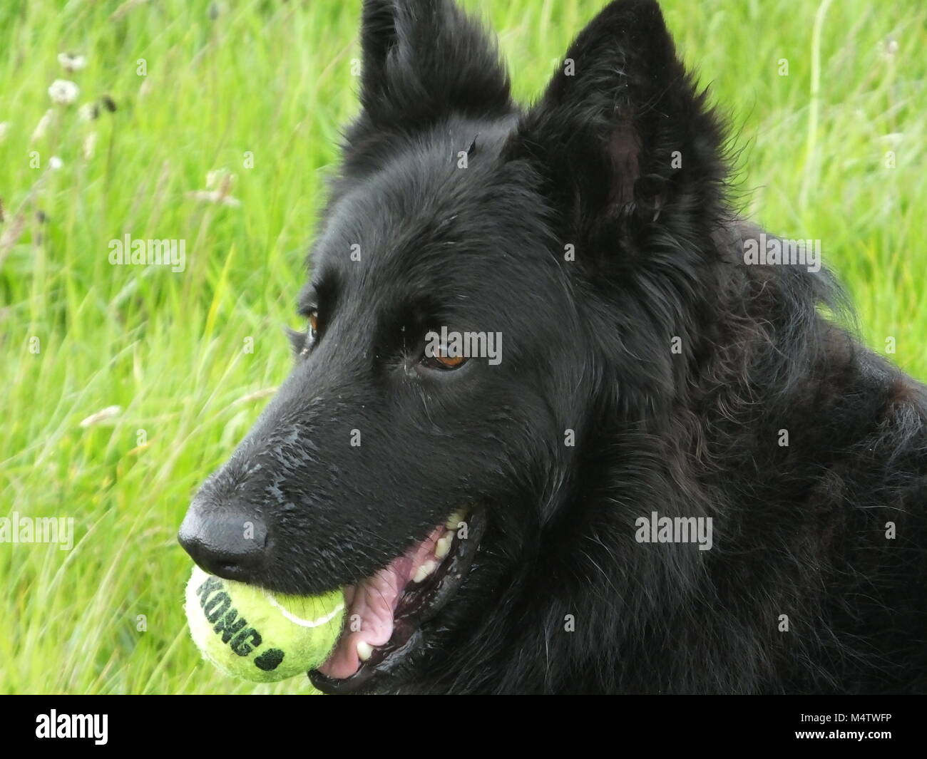 Beautiful Belgian Shepherd playing in the sunshine - Stock Image