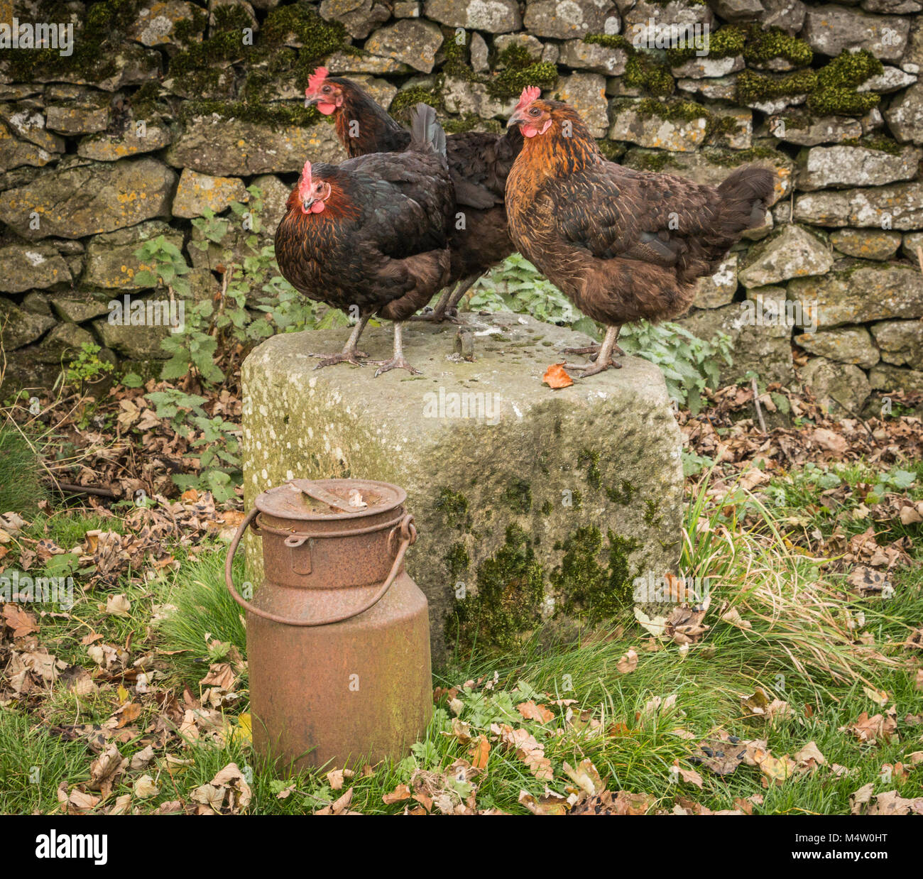 Three Hens and the scary milk churn - Stock Image