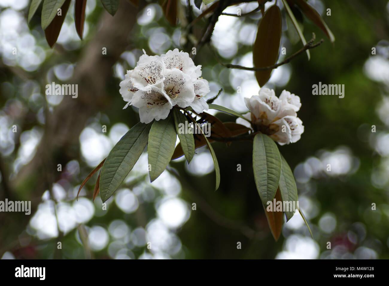 Rhododendron arboreum ssp. cinnamomeum - Stock Image
