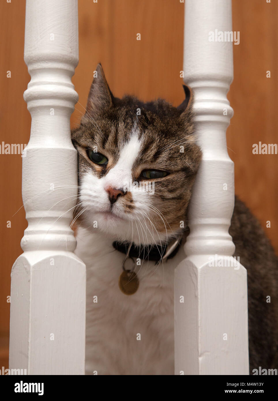 Tabby cat squeezing her face between some banister rails. - Stock Image