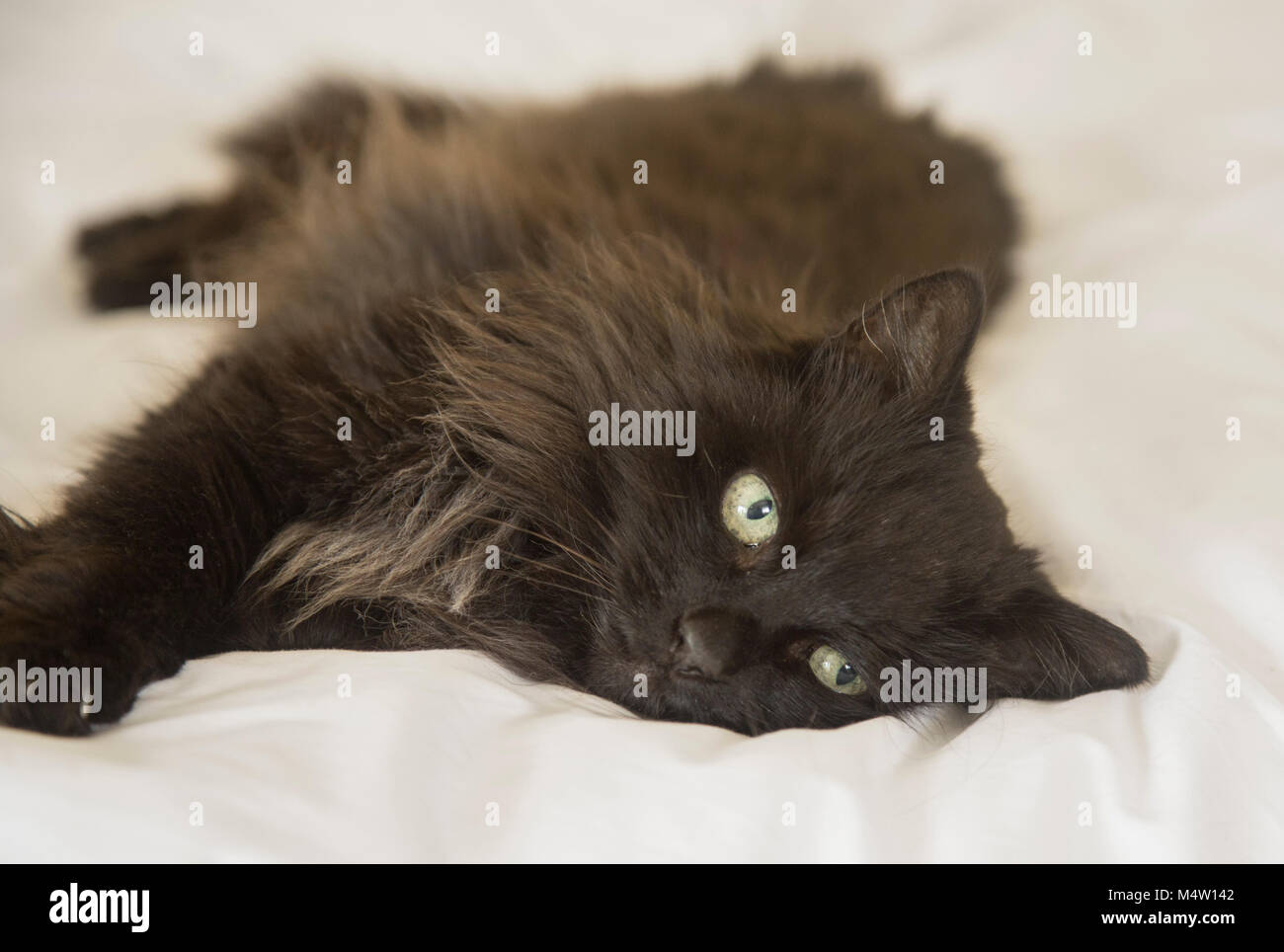 Long haired black cat lying on a white duvet cover on a bed. - Stock Image