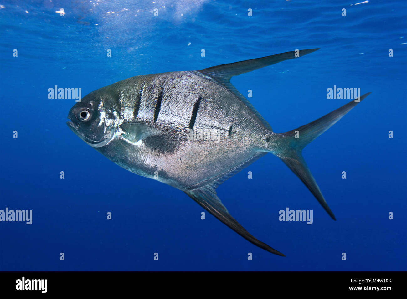 Palometa, Trachinotus goodei. It's a popular gamefish and also captured for the aquarium trade. They are very - Stock Image