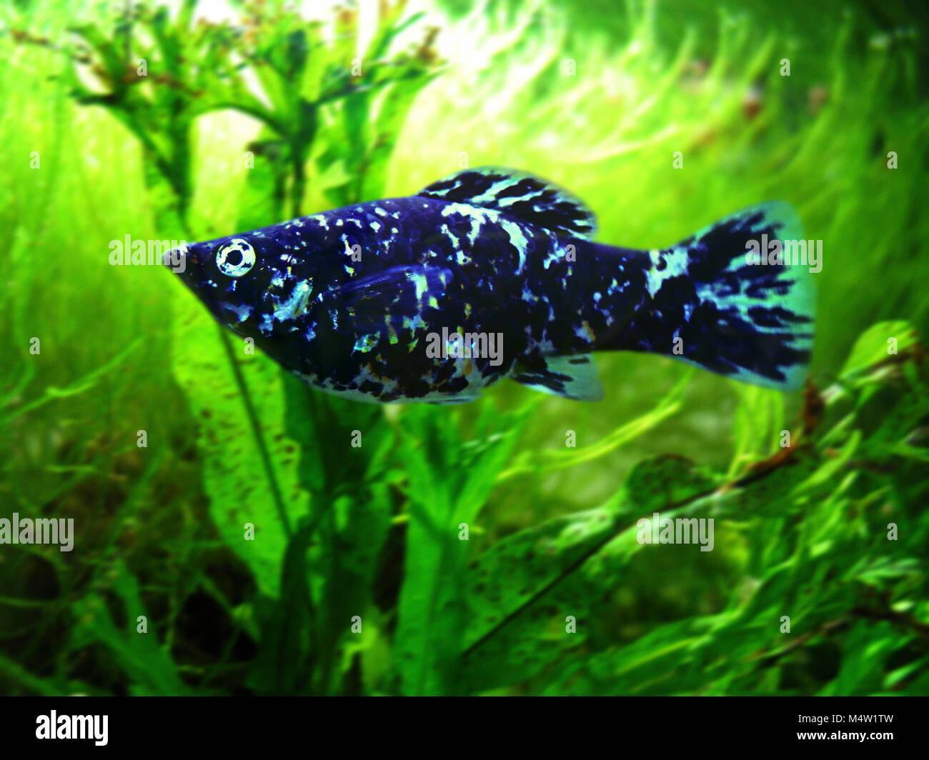 Female Short-finned Molly, Poecilia sphenops. Dalmatian variety. Mollies are strictly American fish, found particularly - Stock Image
