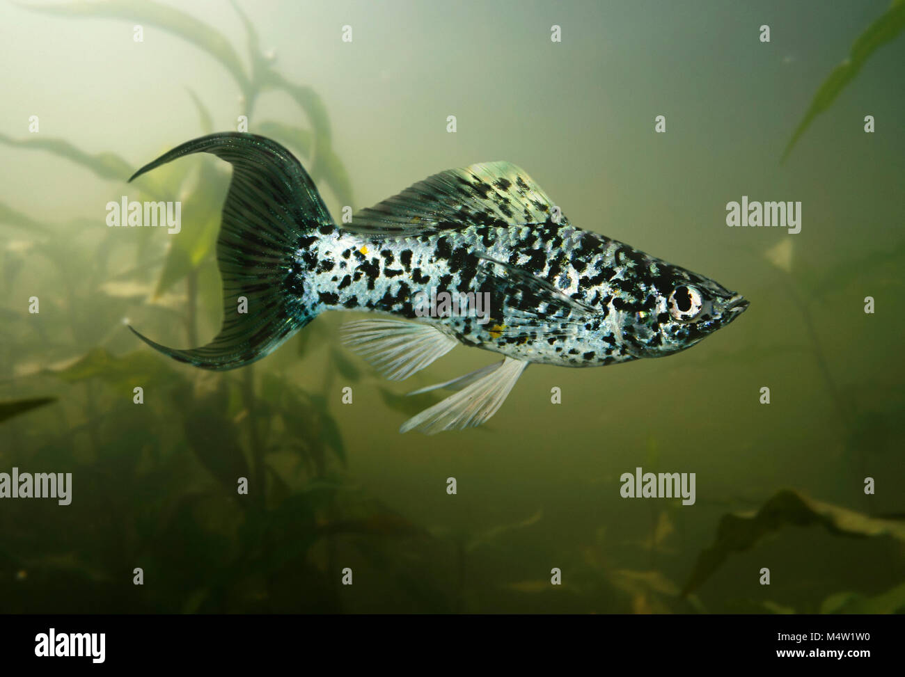 Female Short-finned Molly, Poecilia sphenops. Dalmatian Lyretail variety. Mollies are strictly American fish, found - Stock Image