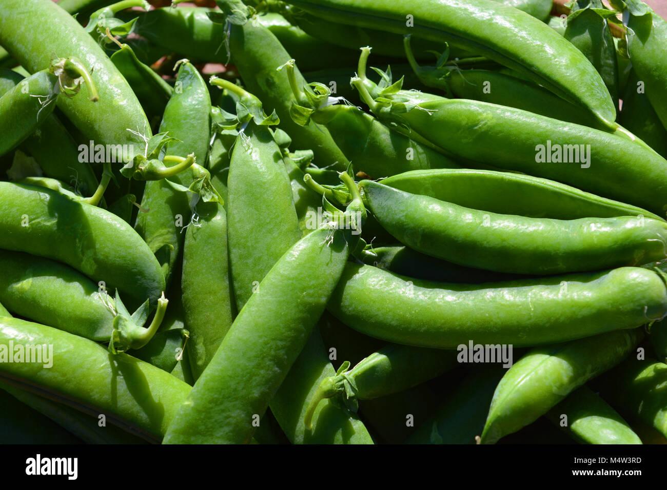Pisum sativum, freshly picked garden pea pods - Stock Image