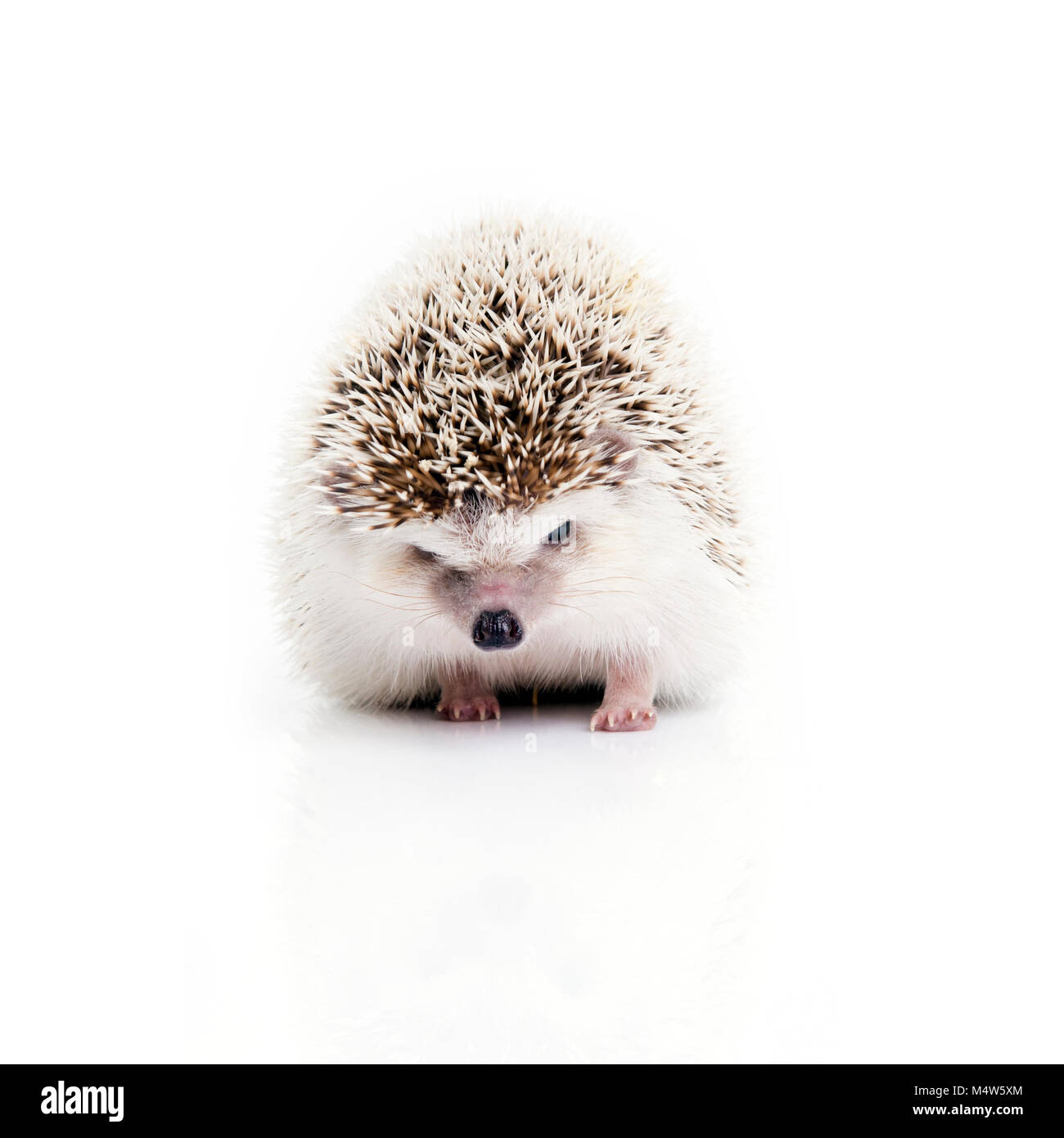 Front view of little hedgehog looking something on white background. - Stock Image