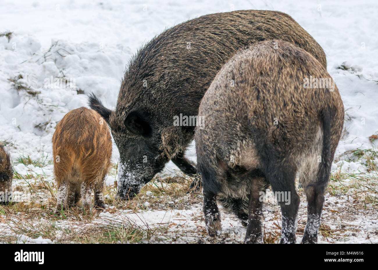Black Boars Family Dining in the Snow at Omega Park in Montebello, Quebec, Canada. - Stock Image