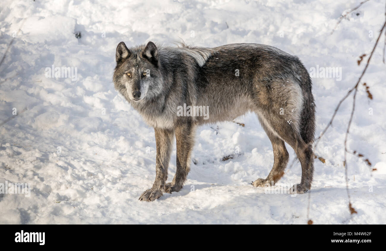Black Wolve Enjoying Snow on a Sunny Winter Day - Stock Image