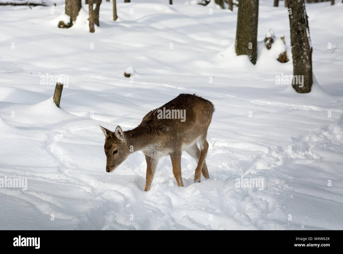 Very Young Fallow Deer Walking in the Snow on a Snowy Sunny Day. - Stock Image