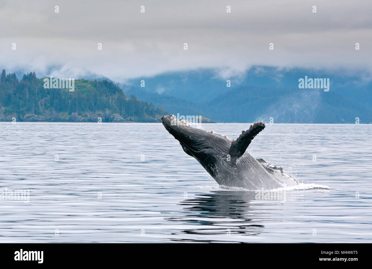 A whale breaching in the alaskan ocean with water splash Stock Photo