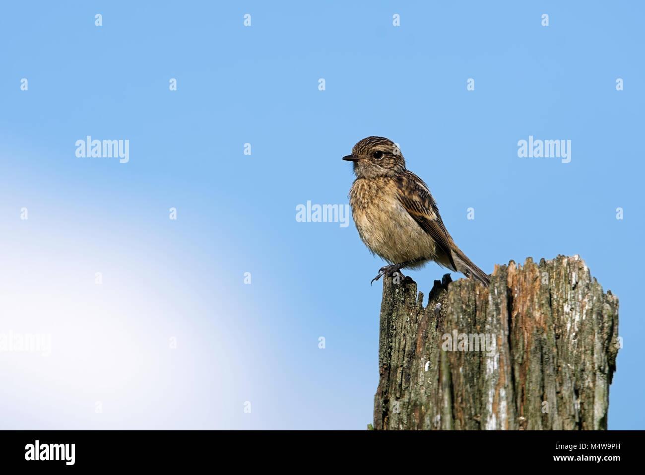 European stonechat Stock Photo
