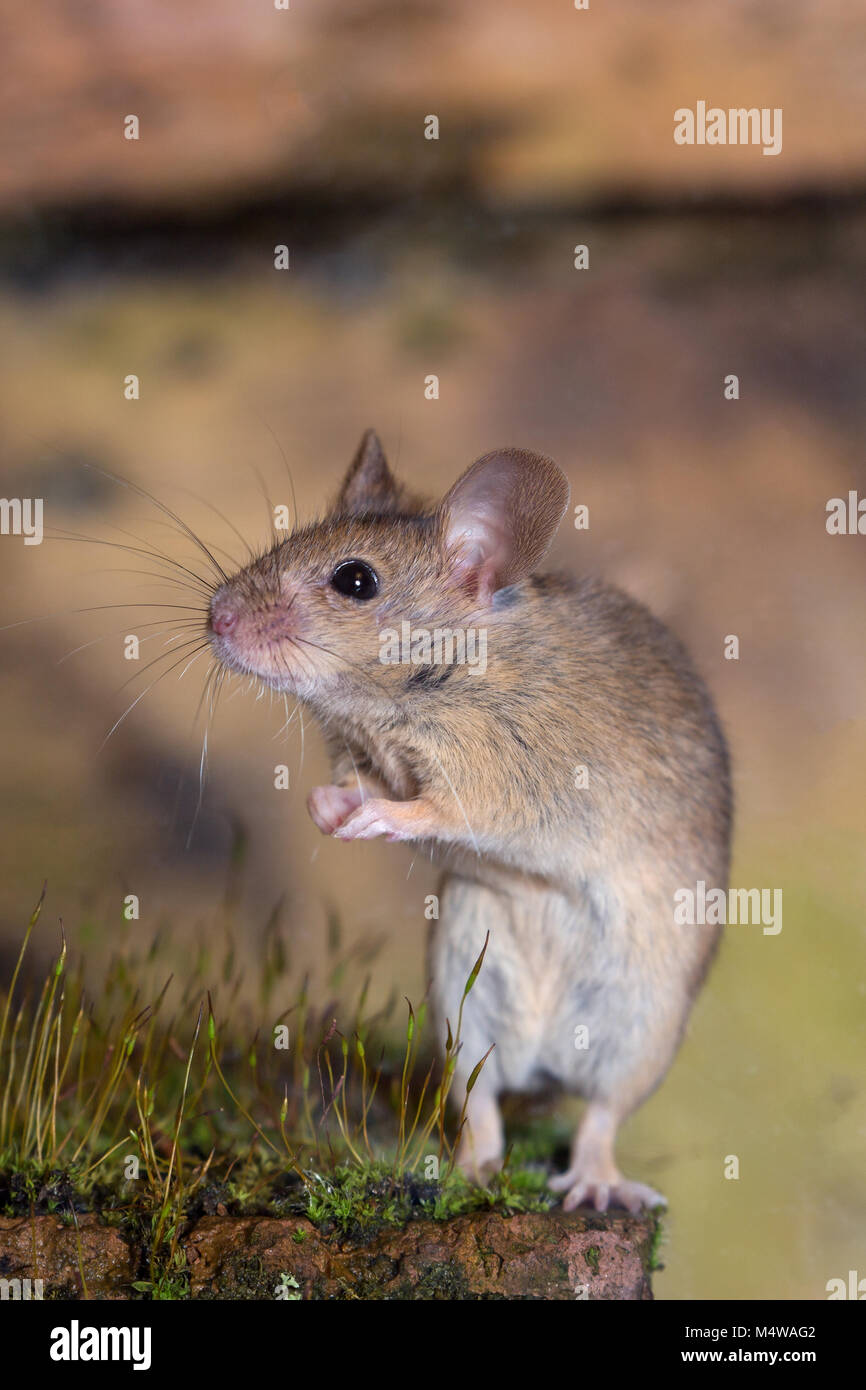 Mouse mus musculus - Stock Image
