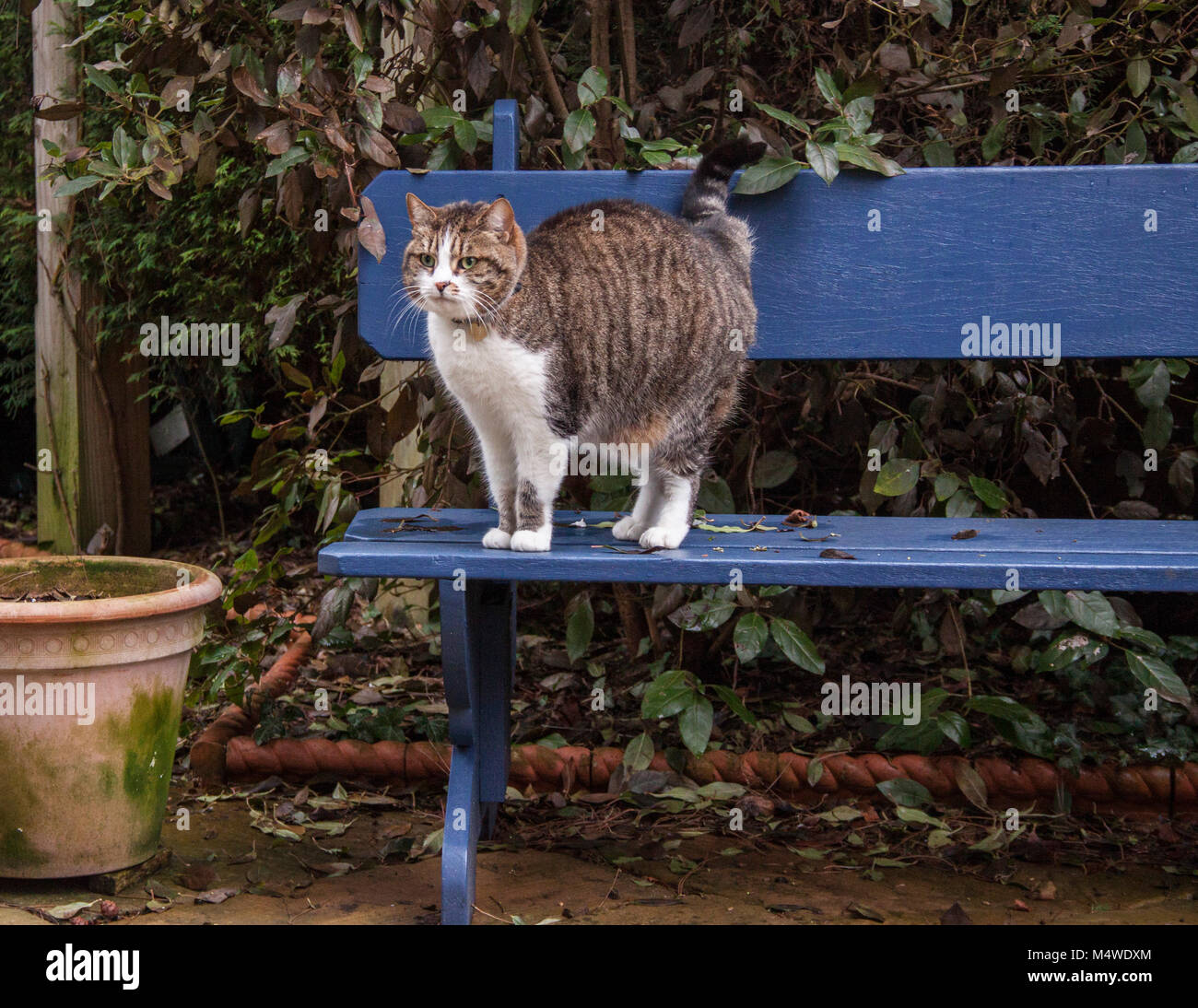 Strange Tabby Cat Standing On A Painted Blue Garden Bench Beside An Inzonedesignstudio Interior Chair Design Inzonedesignstudiocom