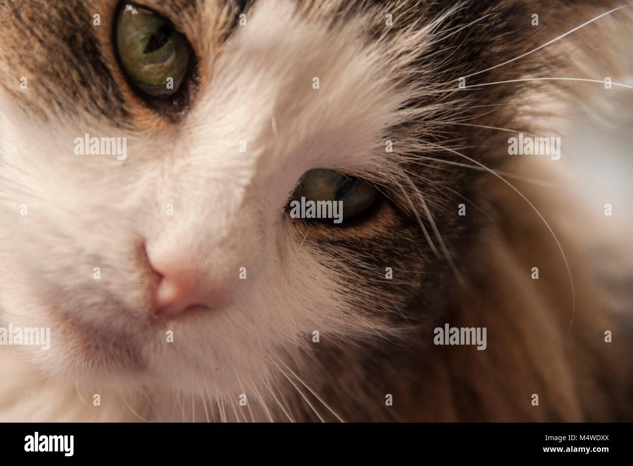 Tortoiseshell and white cat, Norwegian Forest cat,long haired,close up of green eyes and head. - Stock Image