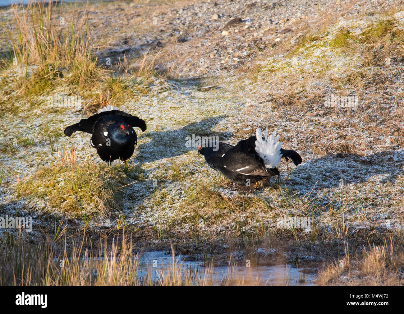 Male Black Grouse Lyrurus tetrix lekking at sunrise on a northern moorland in the UK with several blackcocks present. - Stock Image