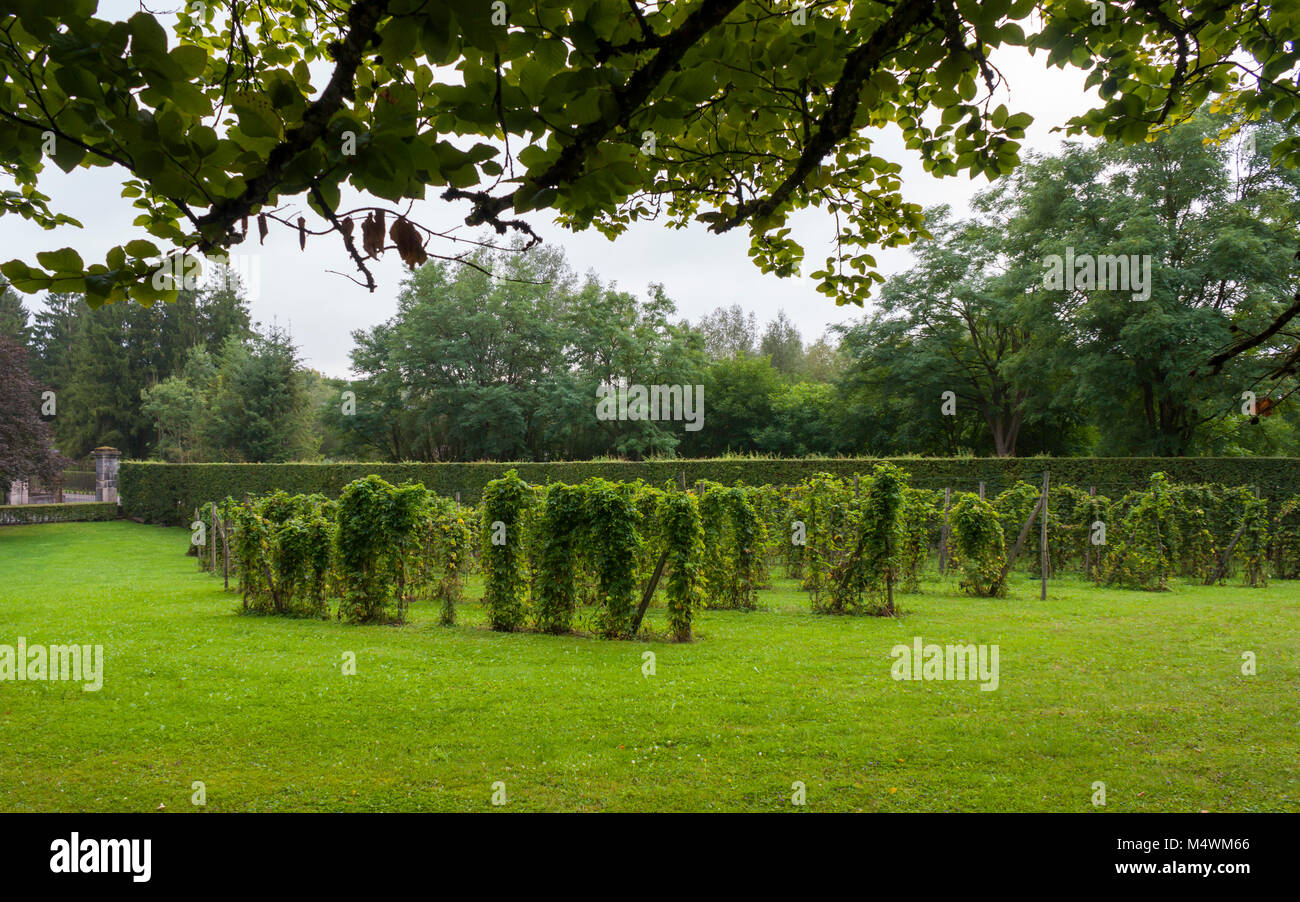 Hops cultivated in the backyard of the Trappist Abbey of Rochefort (Abbey of Notre-Dame de Saint-Rémy), Rochefort, - Stock Image