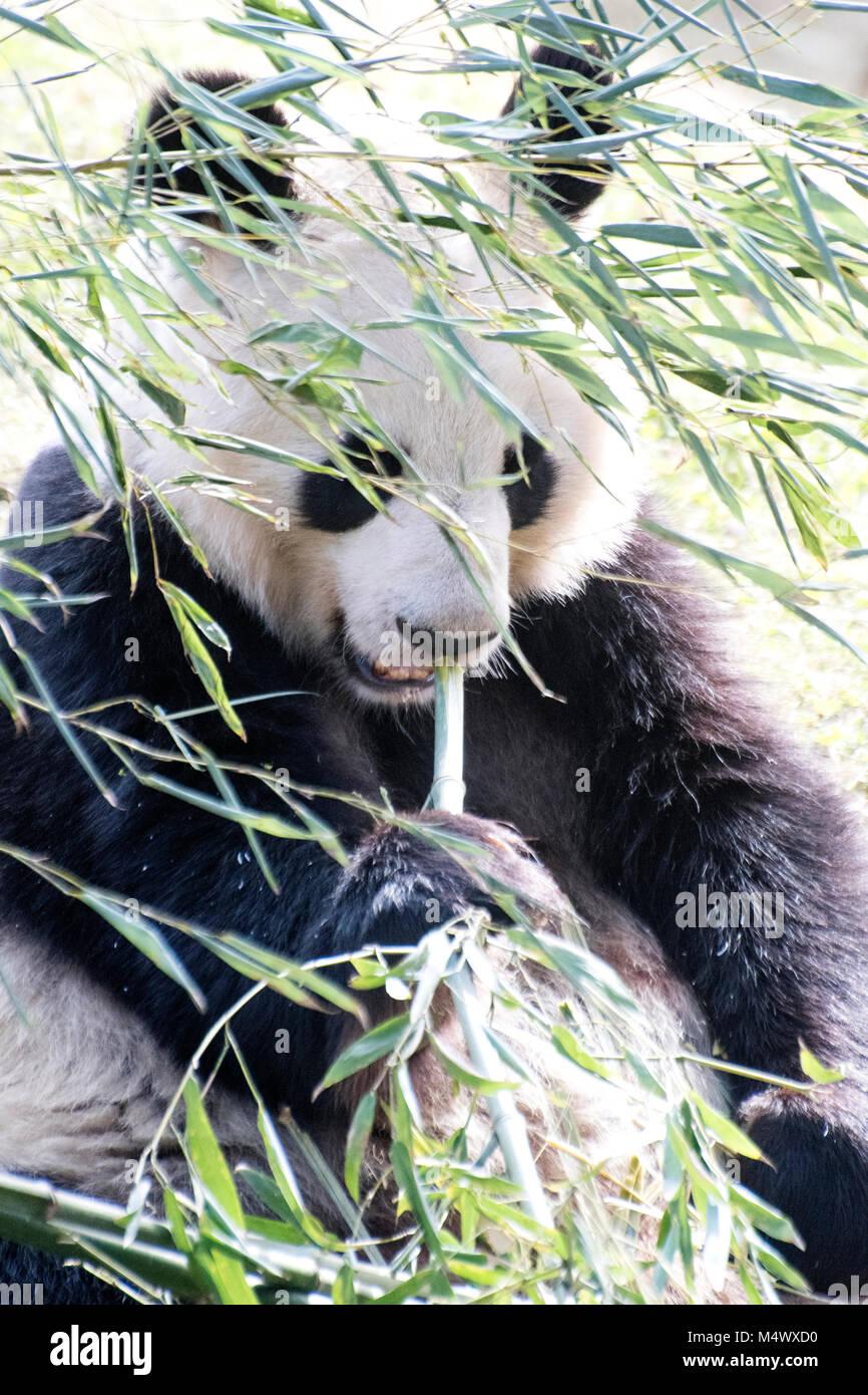 Madrid, Spain. 18th February, 2018. A giant panda (Ailuropoda Melanoleuca) rests at Madrid Zoo on February 18, 2018 Stock Photo