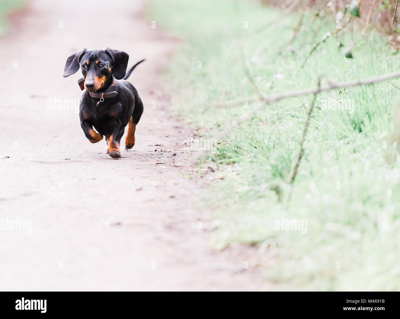 Black Sausage Dog Stock Photos & Black Sausage Dog Stock Images - Alamy