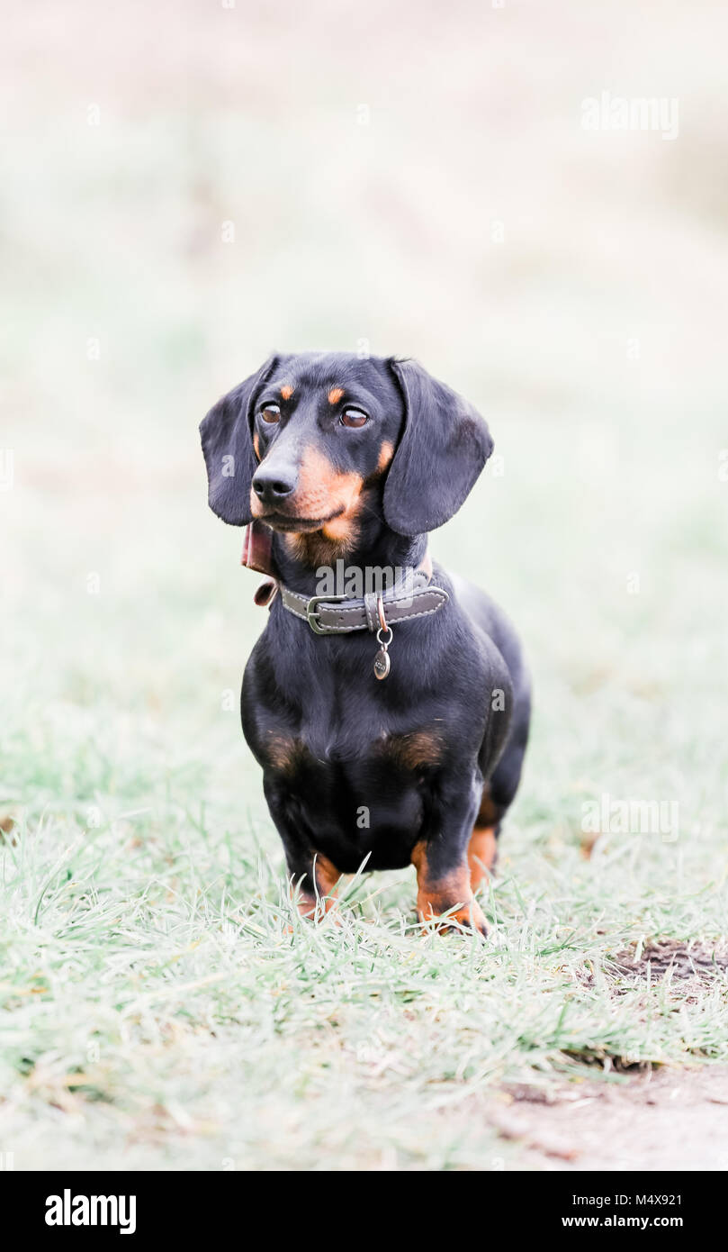 Miniature Dachshund on a dog walk in the countryside, Oxfordshire, UK - Stock Image