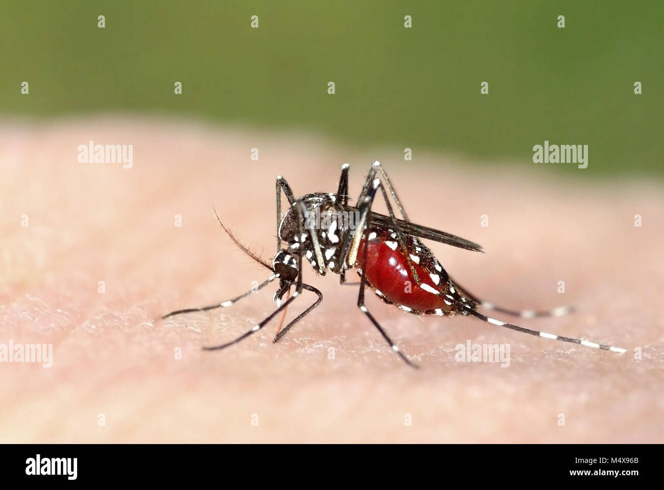 Tiger mosquito (Aedes albopictus) full of blood, an alien species spreading exotic diseases in Europe - Stock Image