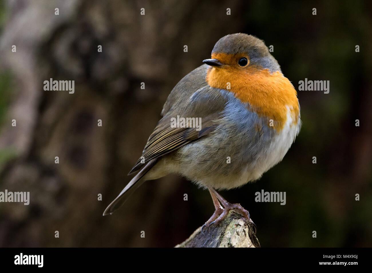 red robin bird portrait stock photo 175140578 alamy