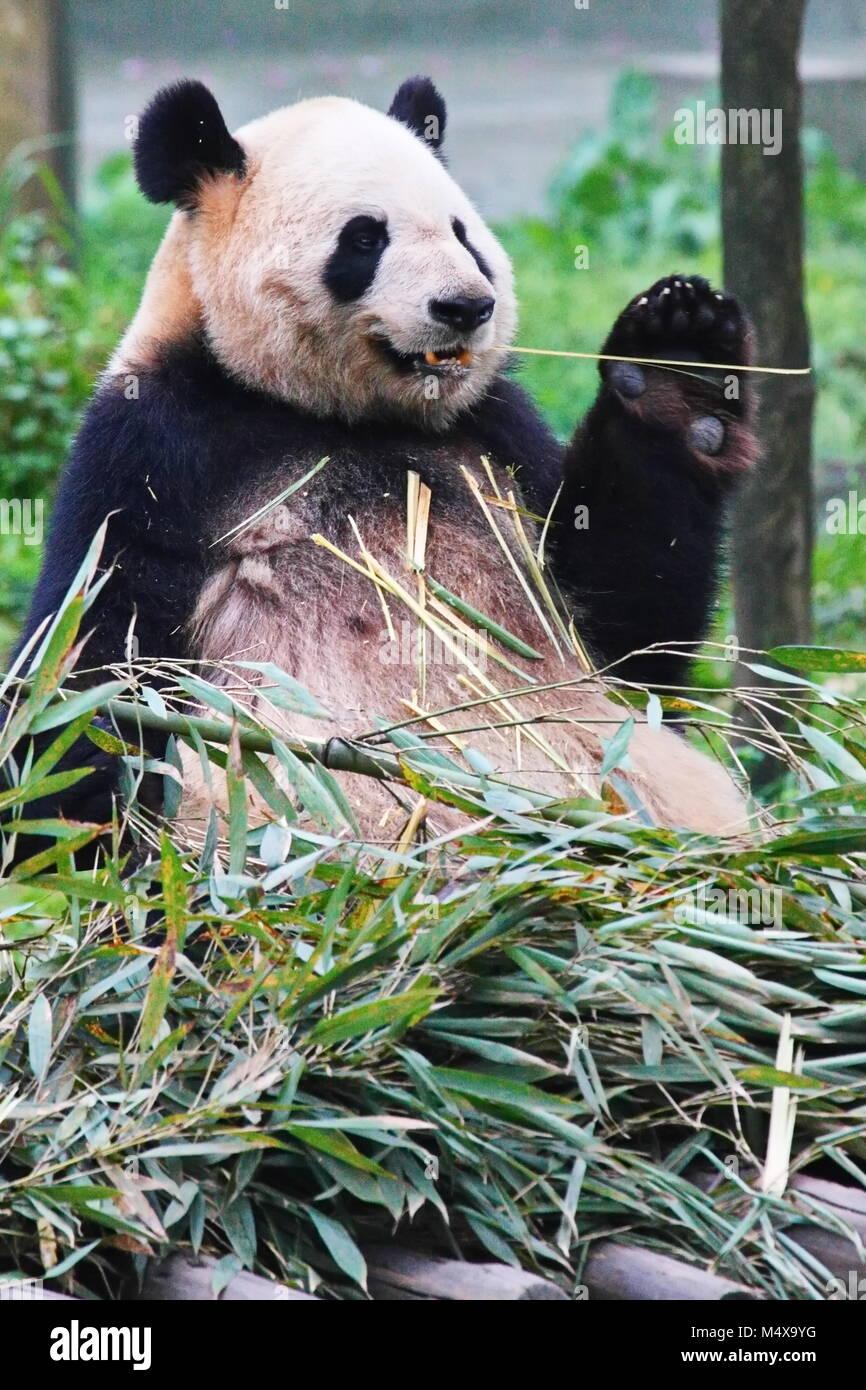 Panda - Stock Image