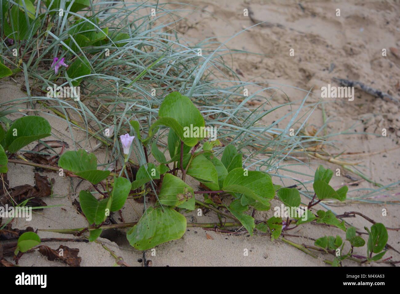 Railroad vine on the beach, Sawtell, NSW, Australia - Stock Image