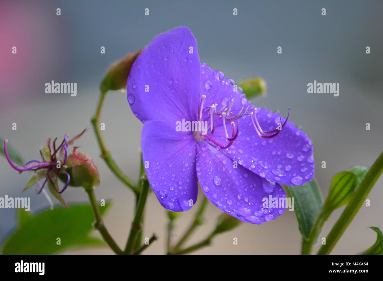 Close up of Tibouchina Alstonville, stunning purple flower, Australia Stock Photo
