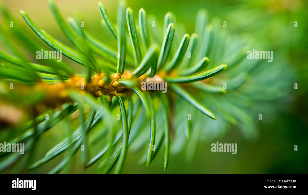 twig of conifer - Stock Image