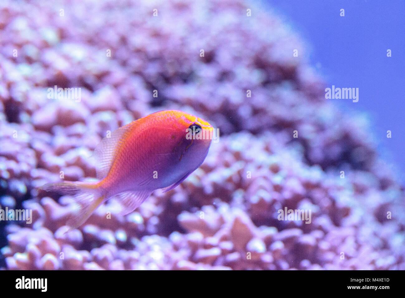 Lyretail Anthias fish known as Pseudanthias squamipinnis Stock Photo