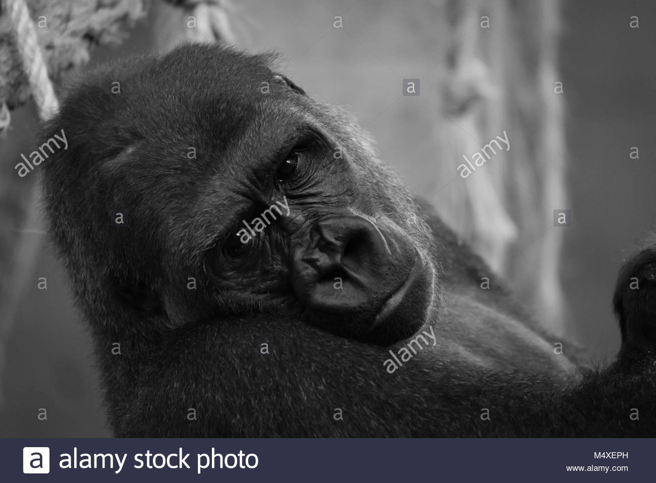 Mono close-up of gorilla head in hammock - Stock Image