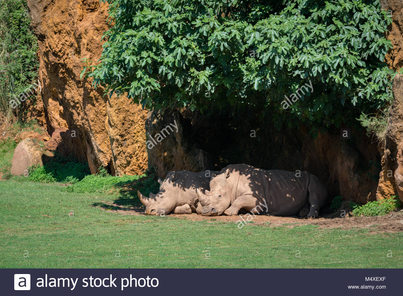 White rhinoceros lying under canopy of leaves - Stock Image