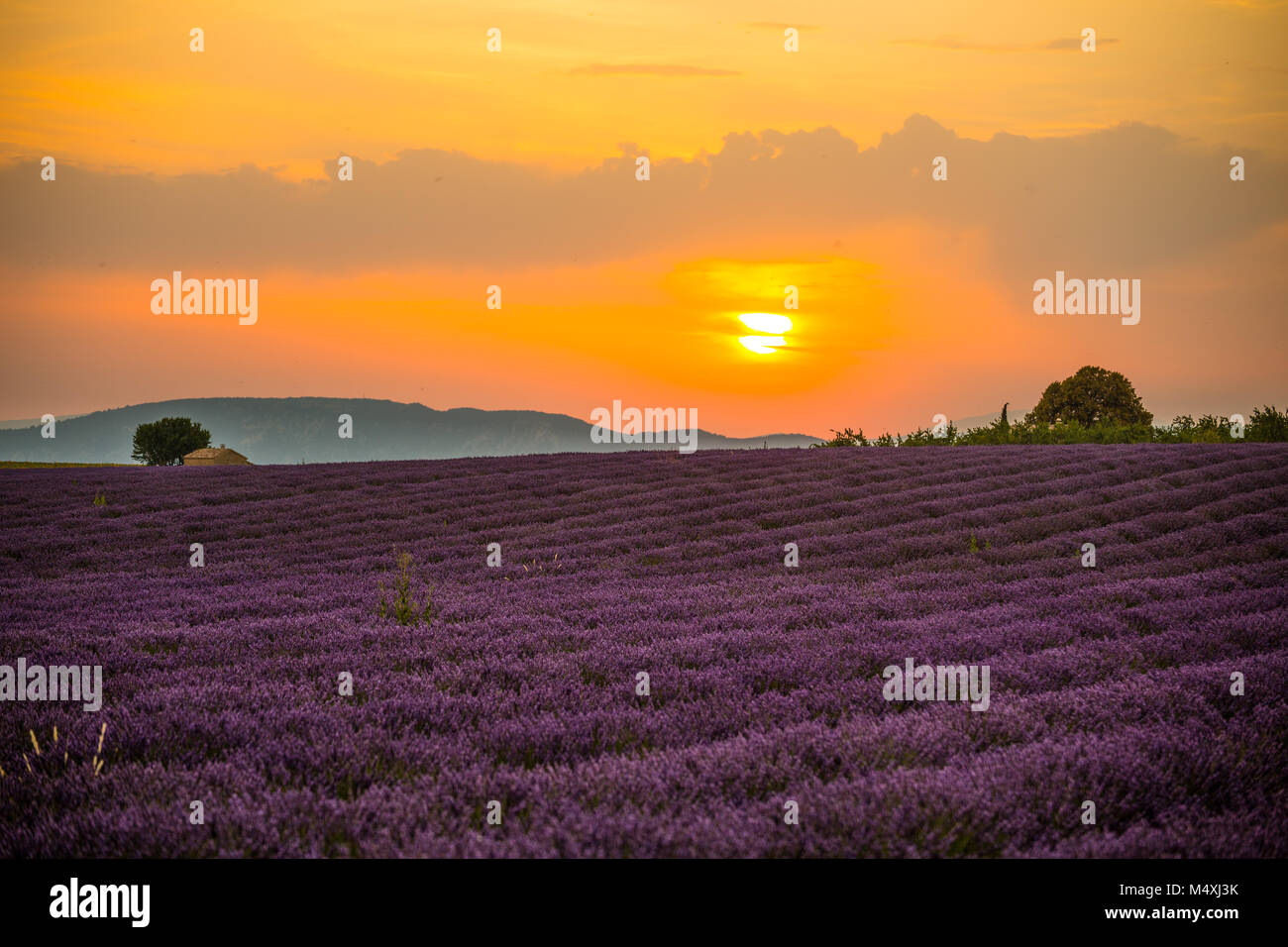 Lavender fields at sunset near the village of Valensole, Provence, France. Stock Photo