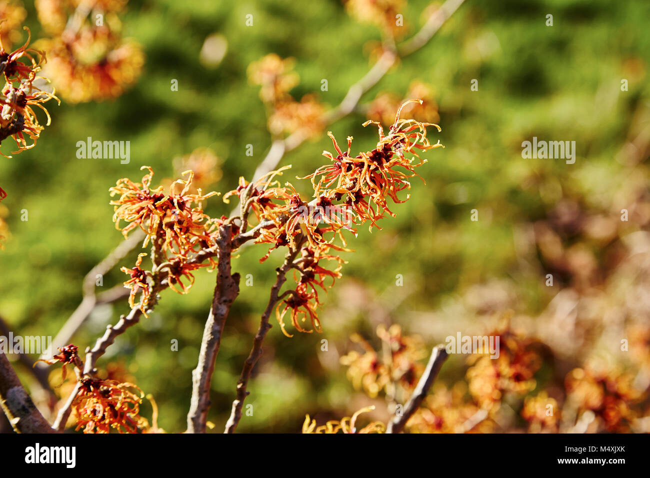 A Branch Of A Witch Hazel Flowers On A Sunny Day Stock Photo