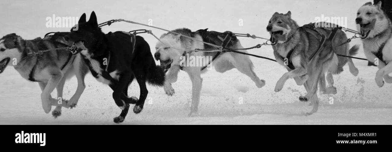 running sledge dogs - Stock Image