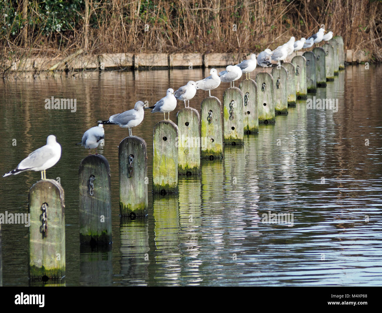 View of a row of birds in a line perched on posts in water - Stock Image