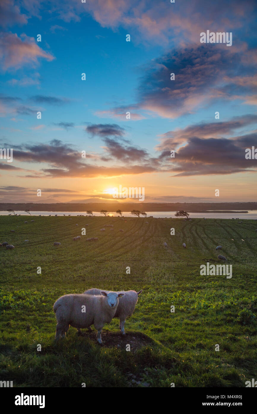 Sheep and sunset over the River Moy, County Sligo, Ireland. - Stock Image