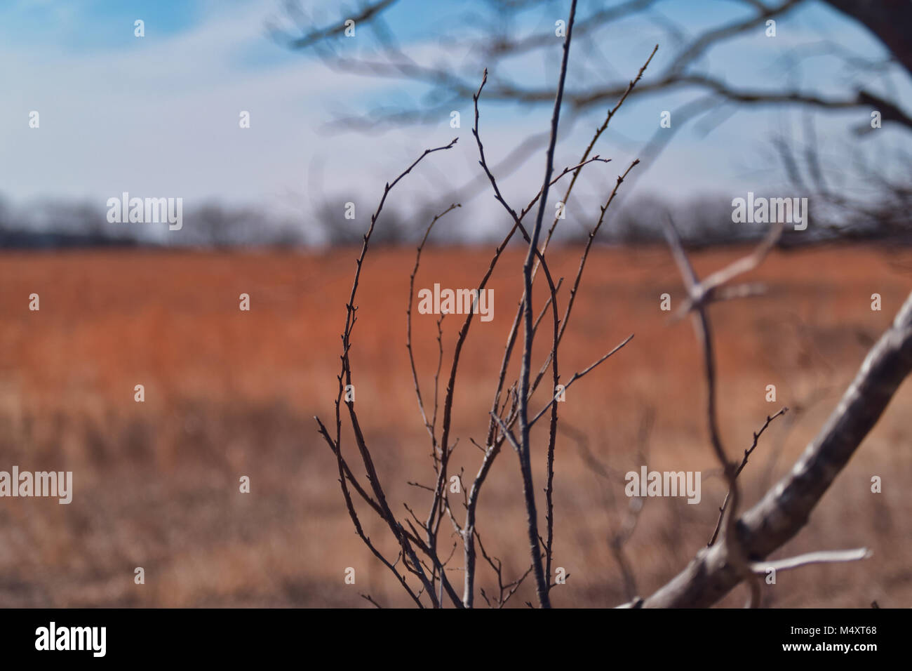 Exploding cattails, with sunny background. - Stock Image