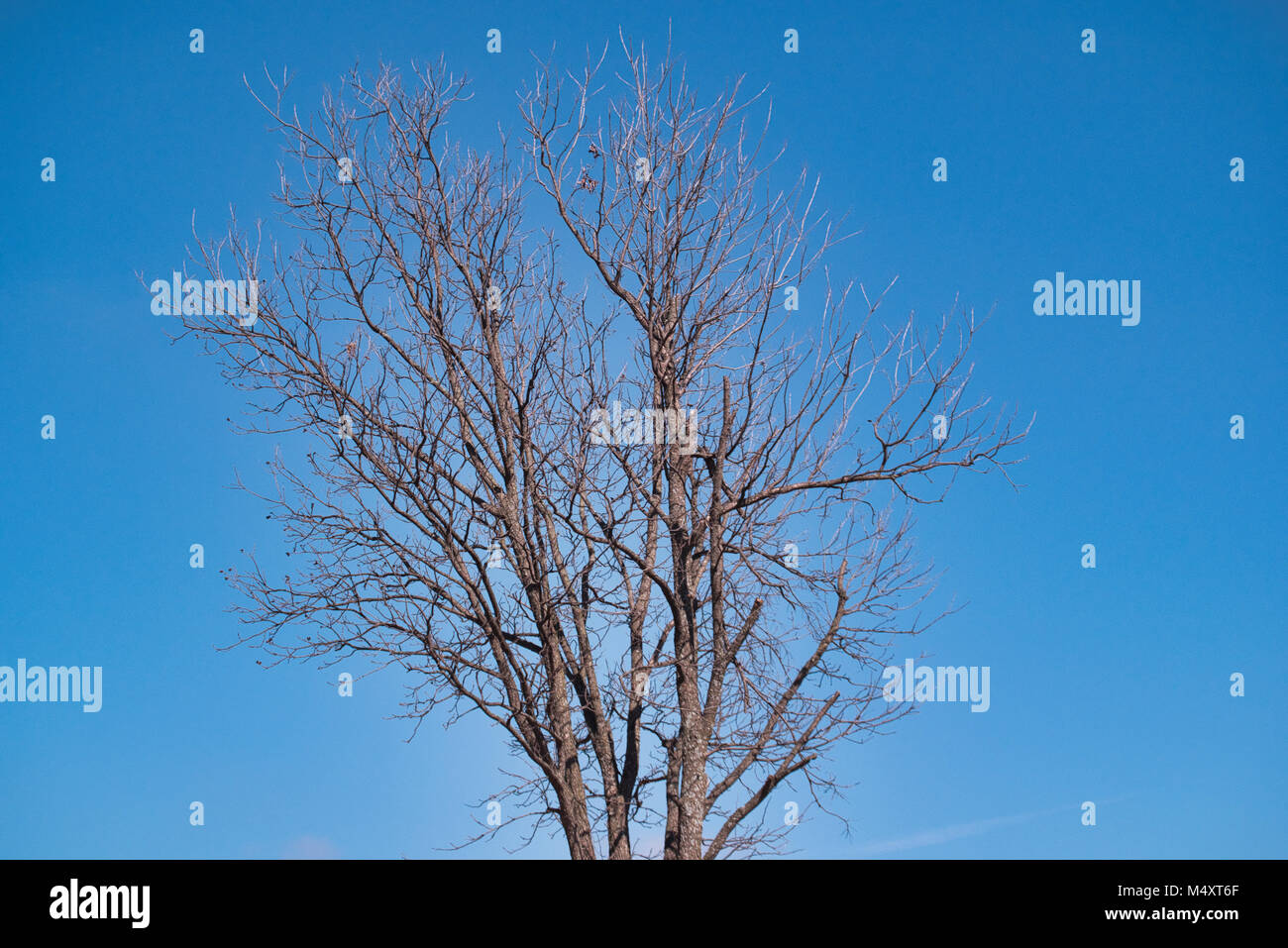 Bare tree, slightly silhouetted by the bright blue sky. Mid Oklahoma day. - Stock Image