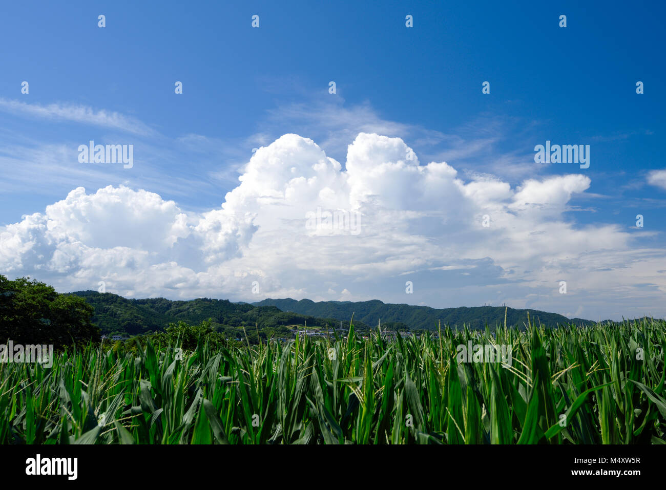 Corn fields and cumulonimbus - Stock Image