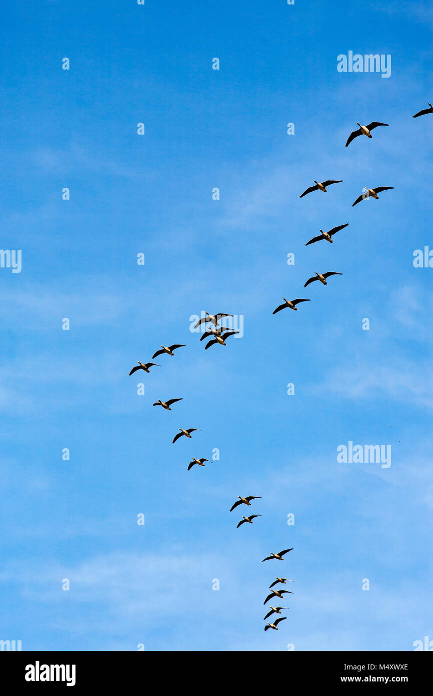 Migratory birds - Stock Image